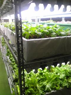 野菜工場1.jpg