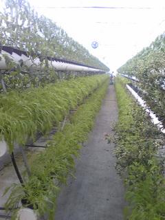 野菜工場2.jpg