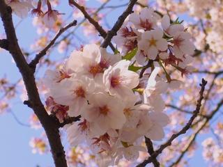 桜・アップ.jpg